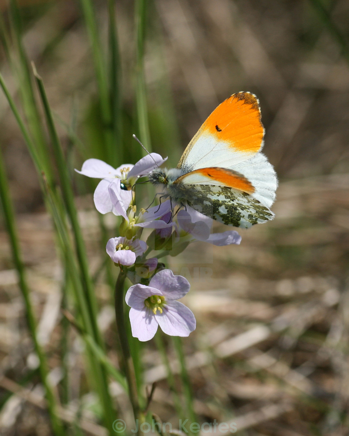 """Orange Tip Butterfly"" stock image"