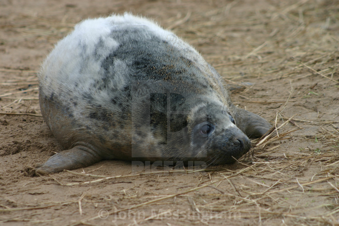 """""""Moulting Grey Seal Pup"""" stock image"""