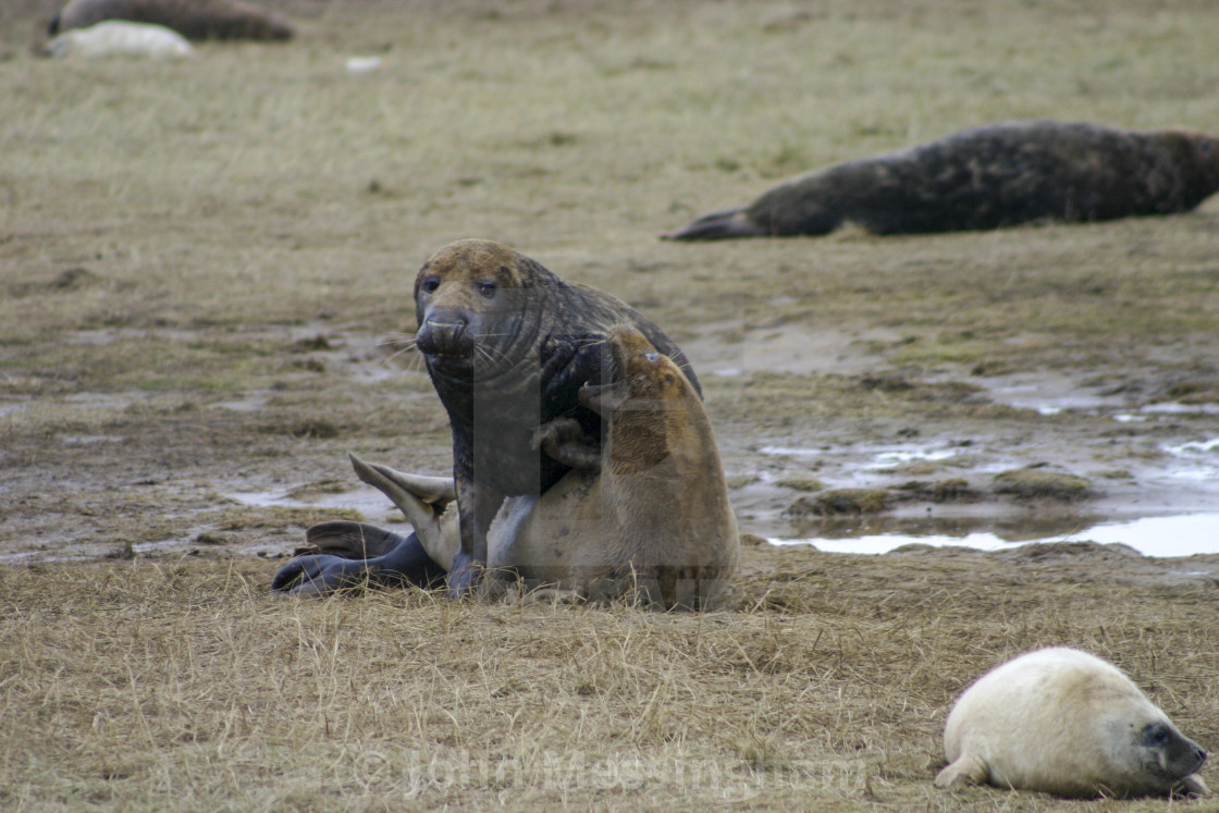 """Grey Seals Mating at the Donna Nook Nature Reserve"" stock image"