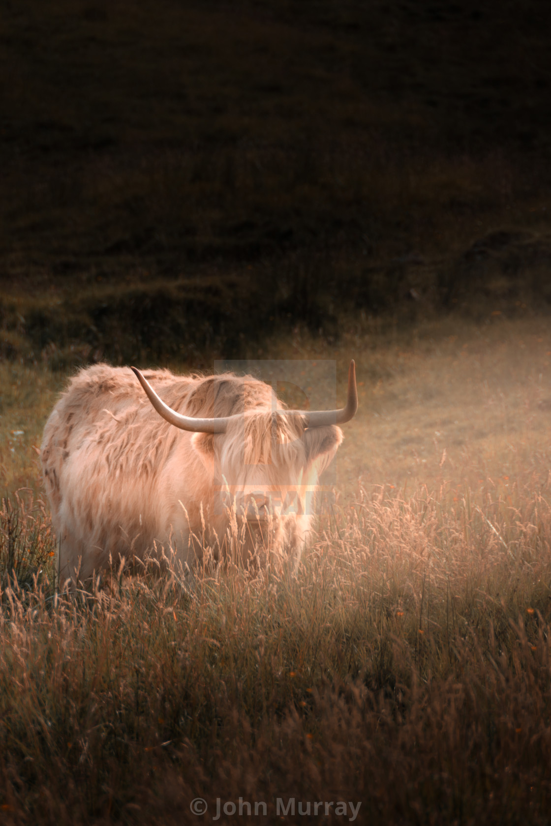 """Highland Cow on Skye"" stock image"