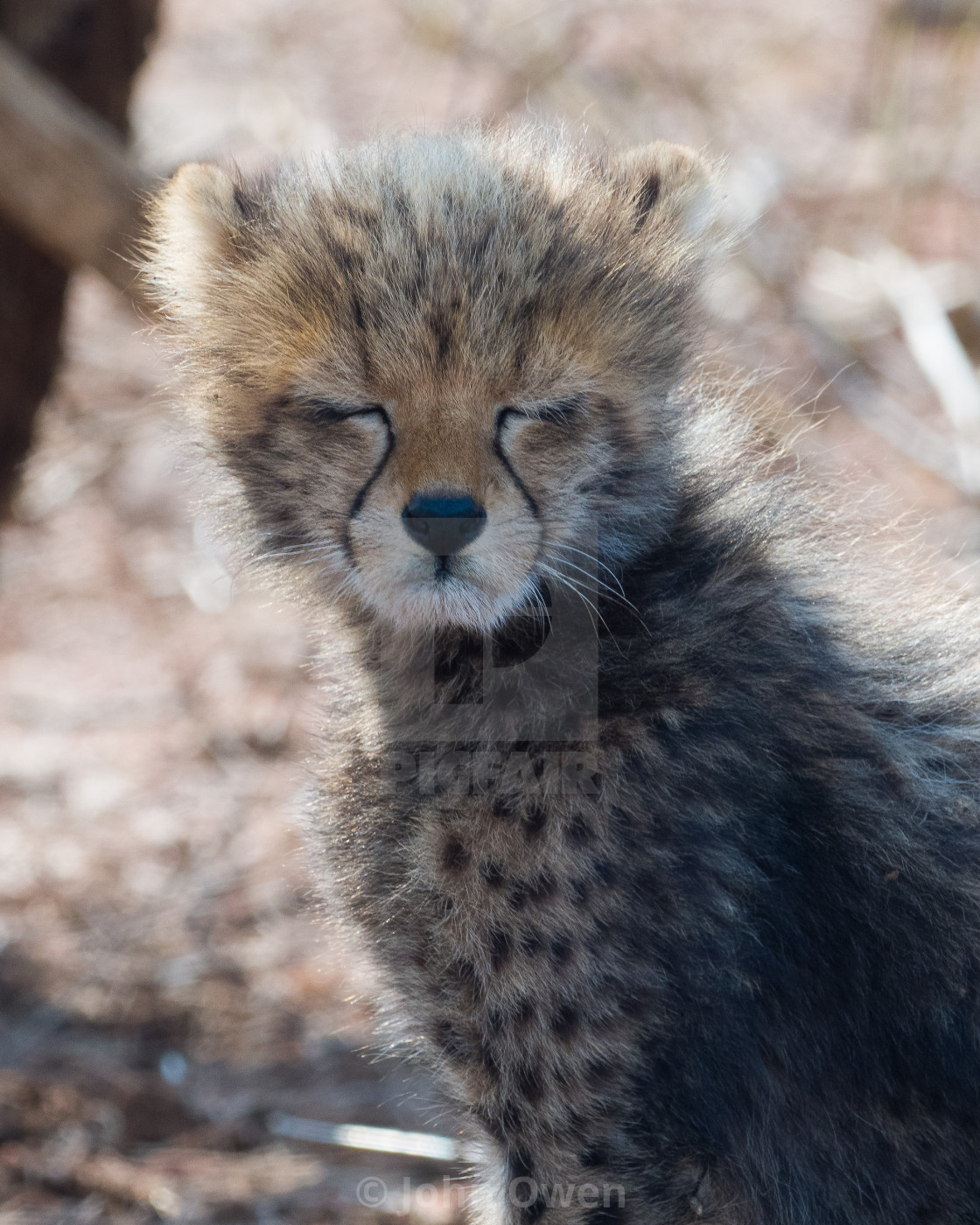 """Cheetah Cub"" stock image"