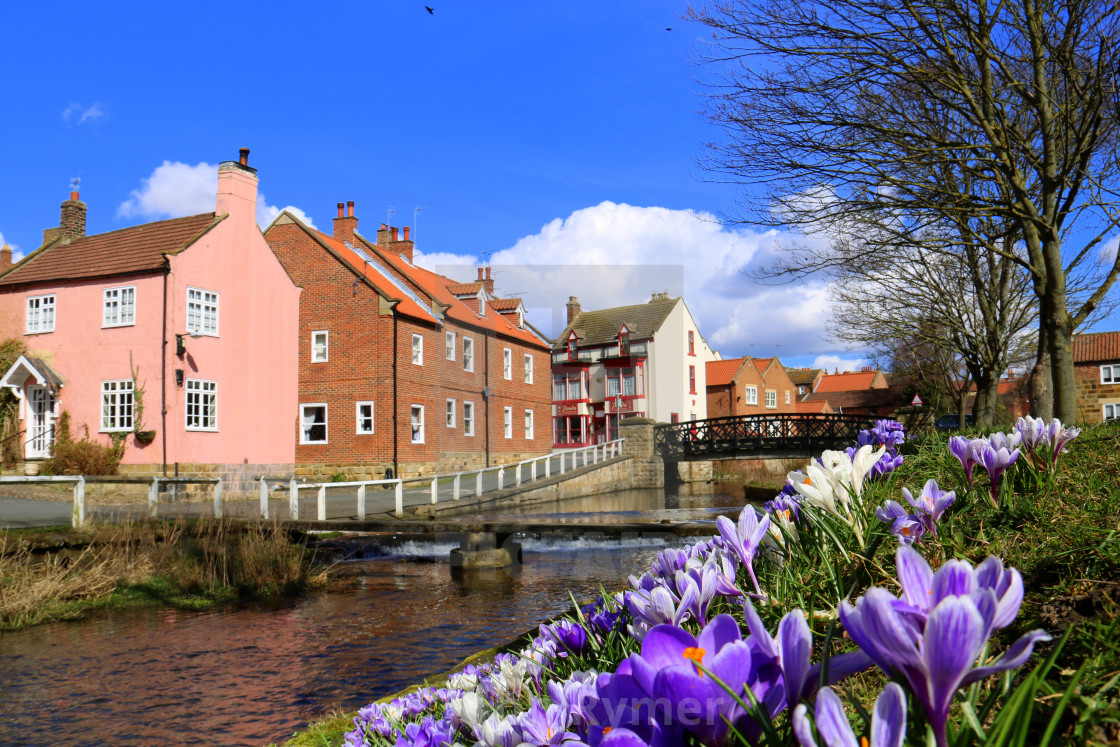 """""""Crocuses on the bank of River Leven, Stokesley, North Yorkshire."""" stock image"""