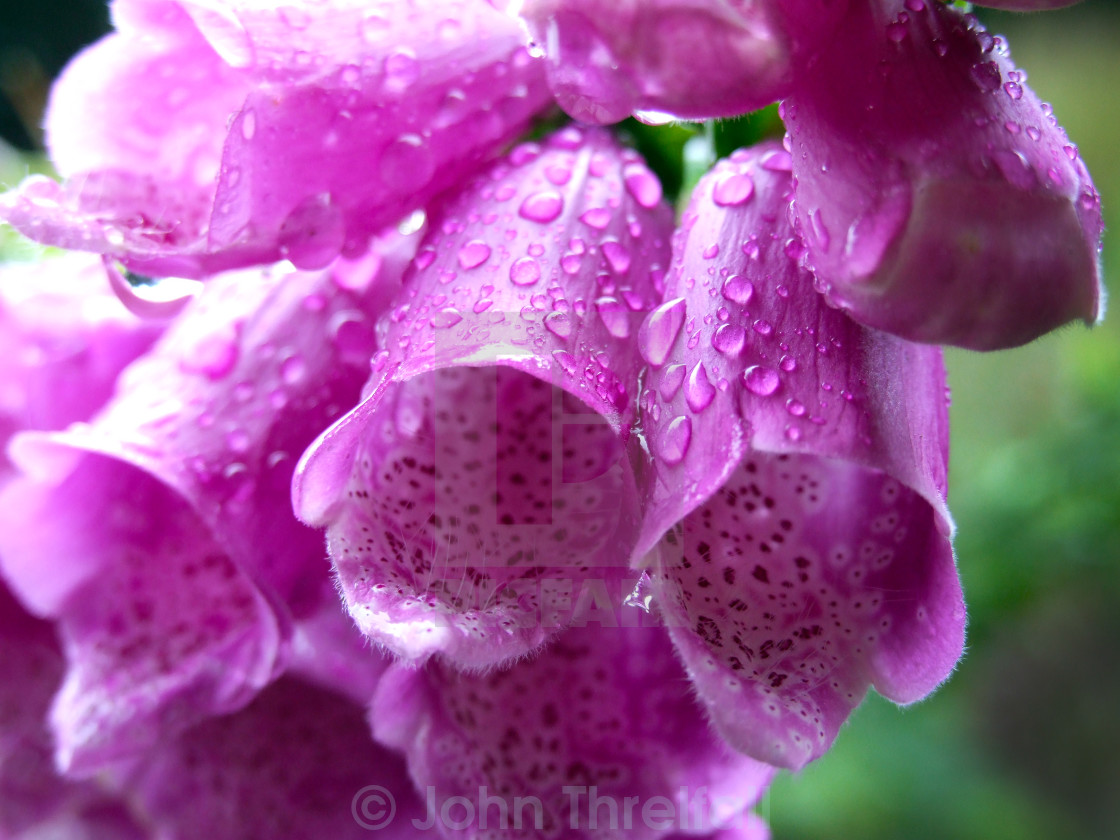 """Pink Fox Gloves"" stock image"