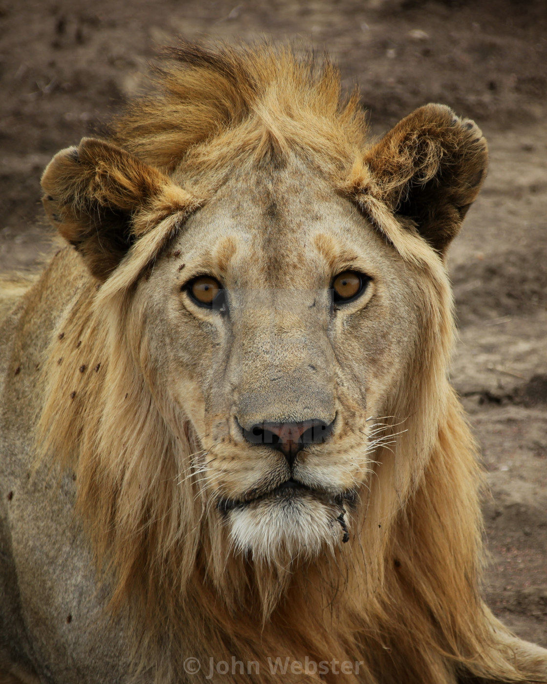 """Lion on the serengeti"" stock image"