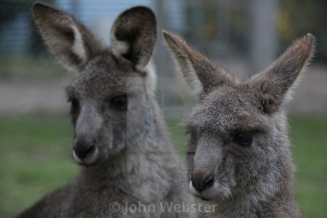 """Eastern Grey Kangaroo"" stock image"