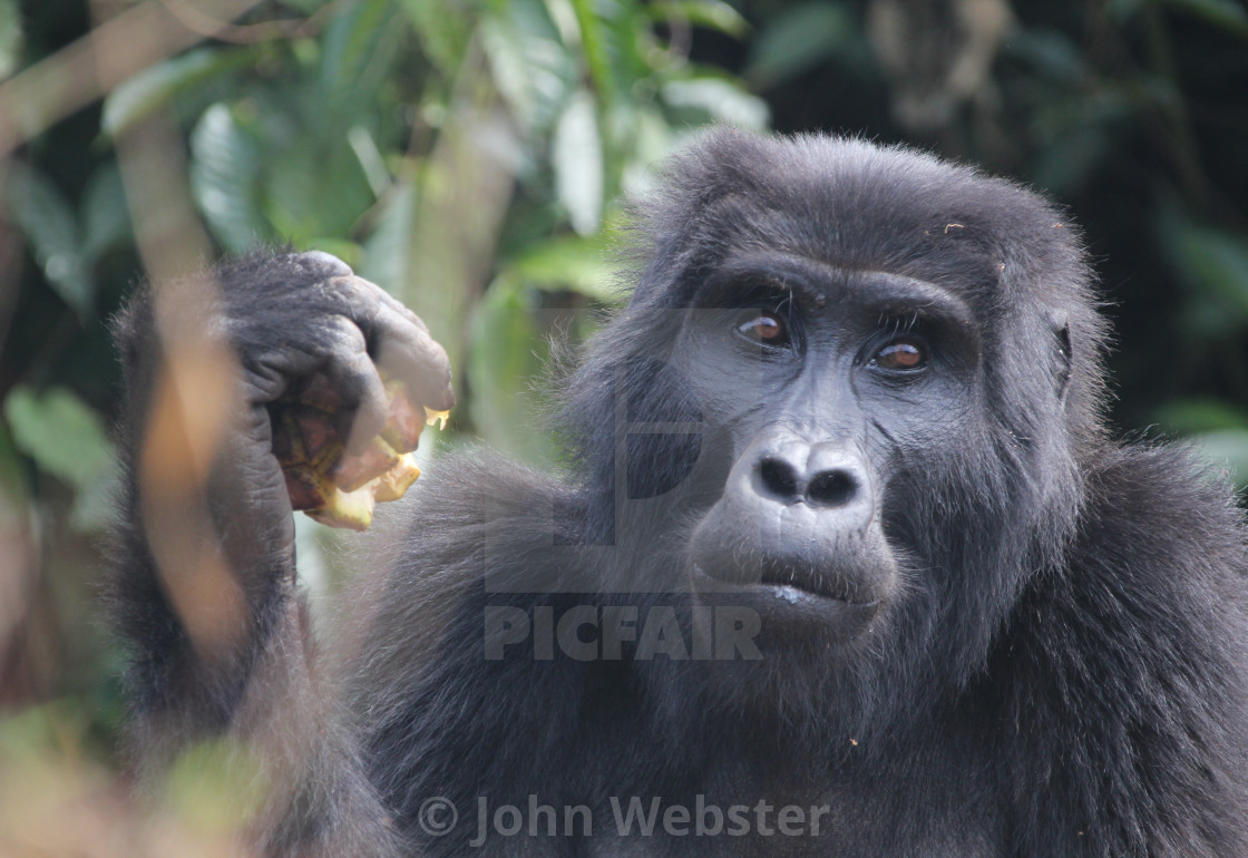 """Mountain gorilla in Bwindi"" stock image"
