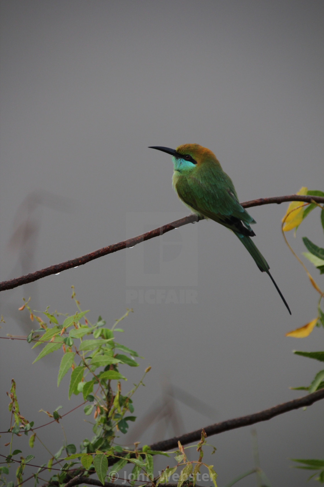 """Little Bee Eater, Sri Lanka"" stock image"