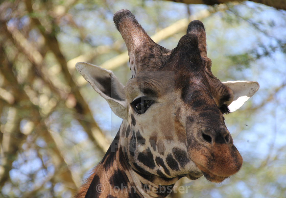 """Reticulated Giraffe"" stock image"