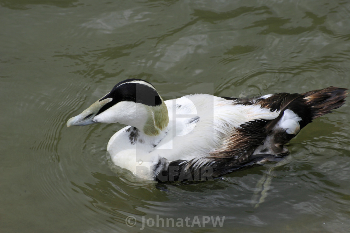 """Male eider duck"" stock image"