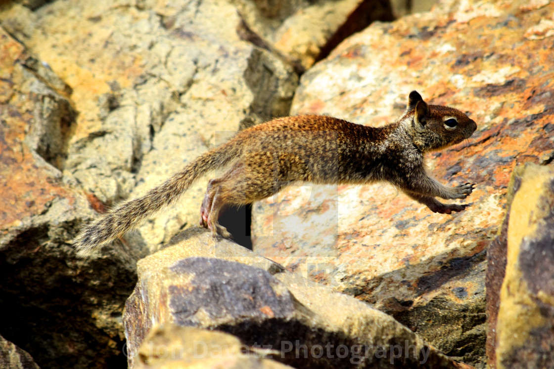 """""""Jumping Squirrel"""" stock image"""