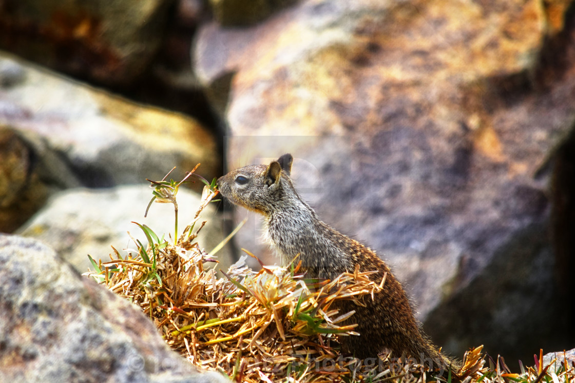 """""""Sniffing Squirrel"""" stock image"""