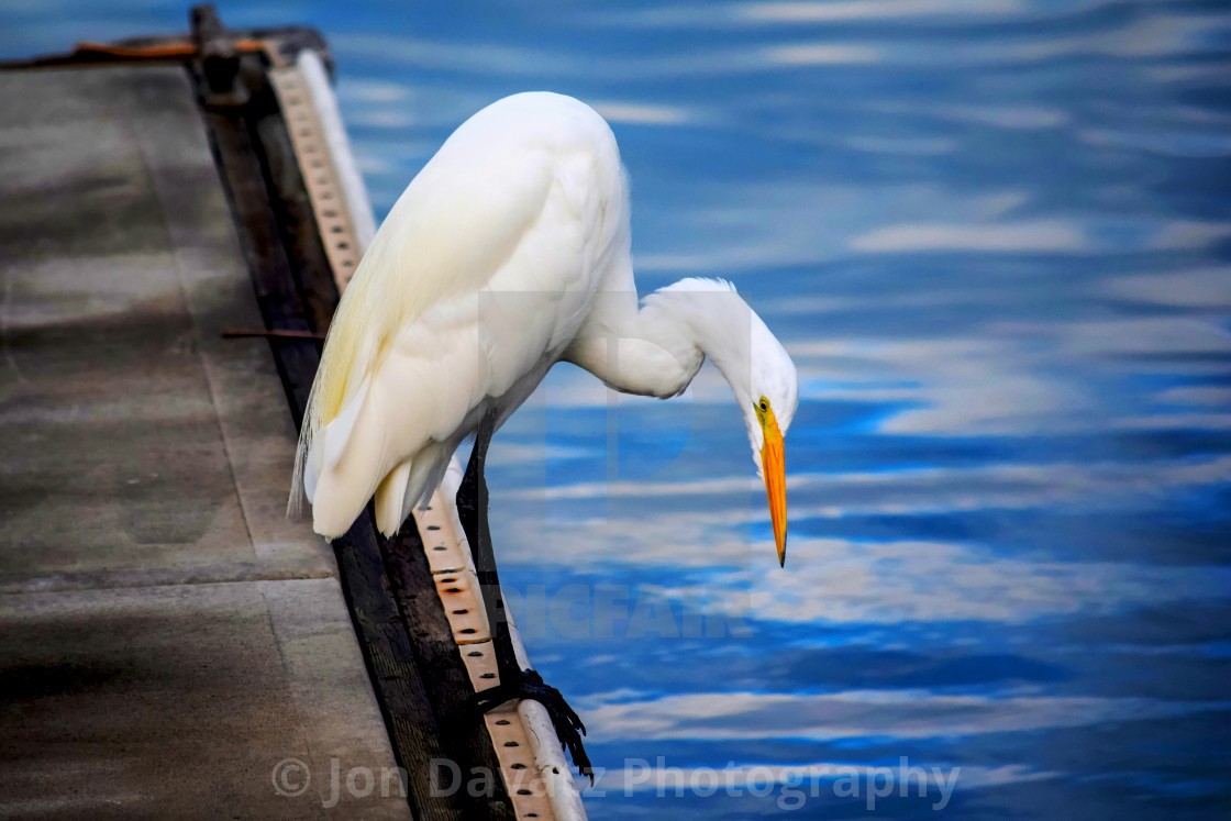 """Great White Heron Series"" stock image"