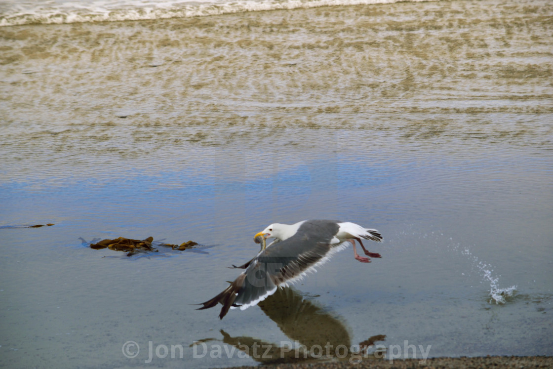"""""""Seagull Food Fight 4 of 4"""" stock image"""