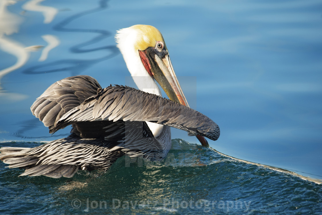 Pelican on a wave