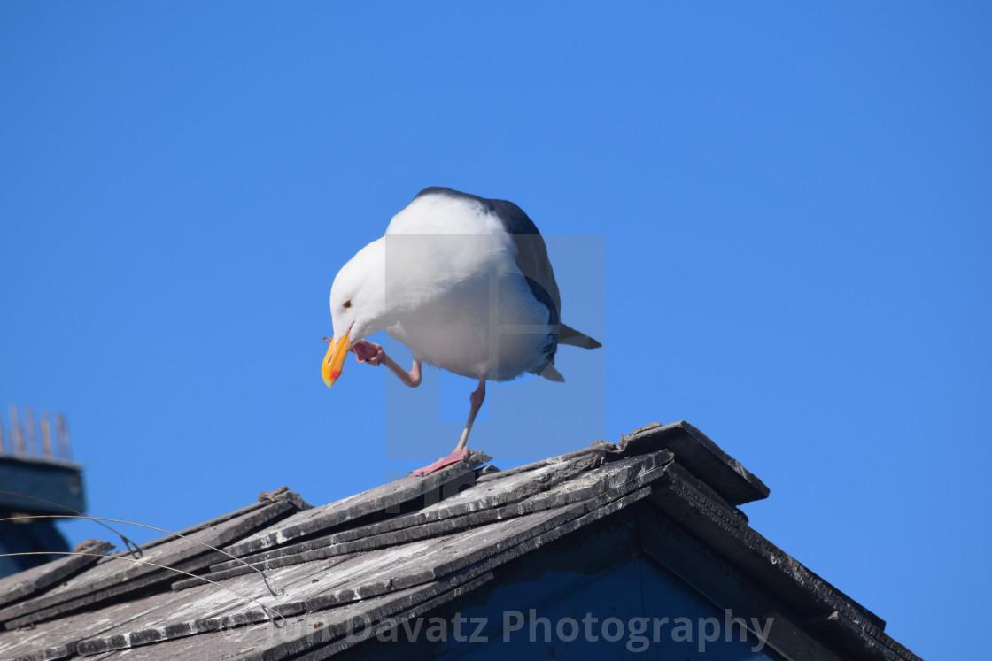 """Seagull Calling"" stock image"