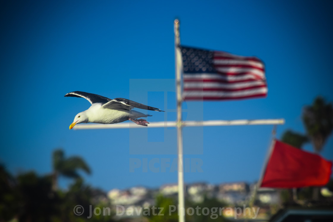"""""""Seagull with US Flag"""" stock image"""