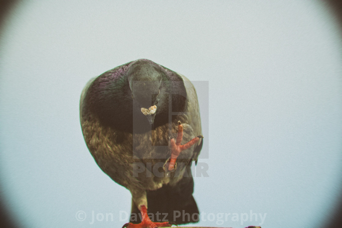 """Kung-Fu Pigeon"" stock image"