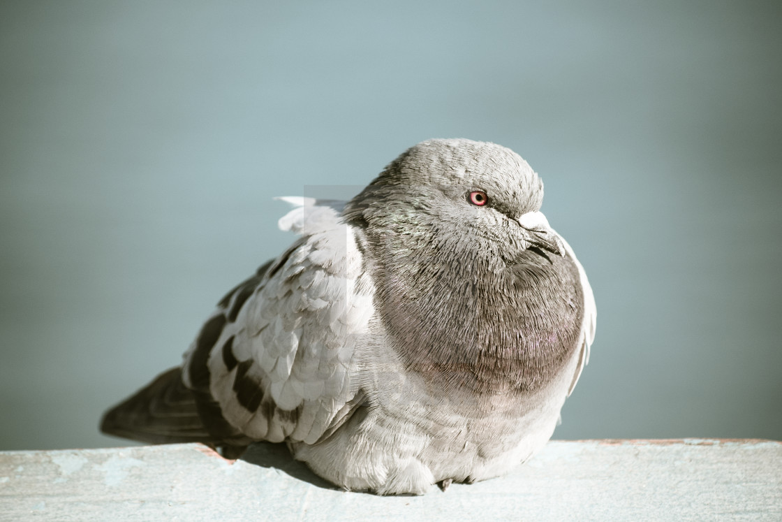 """""""Relaxing Pigeon"""" stock image"""