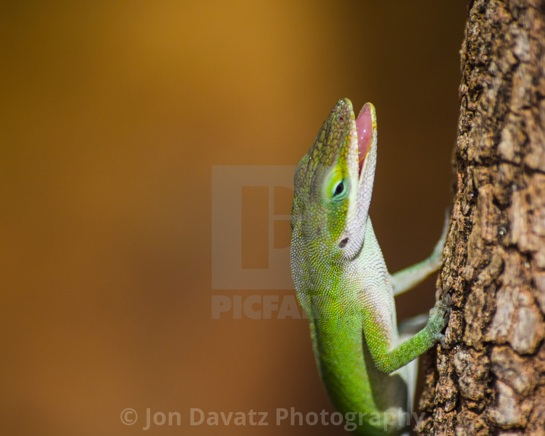 """""""Anole Lizard with open mouth"""" stock image"""