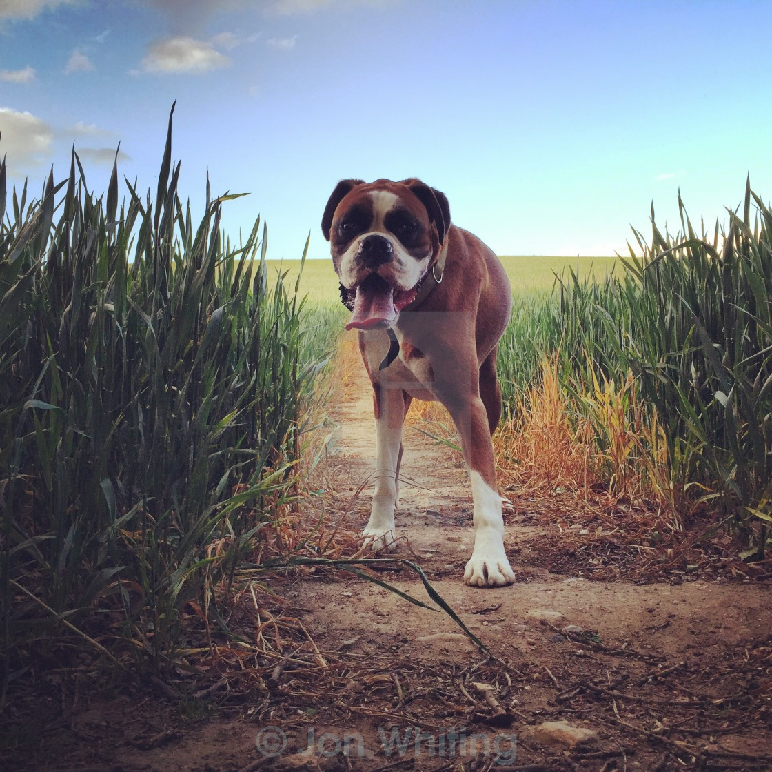 """Boris the Boxer Dog"" stock image"