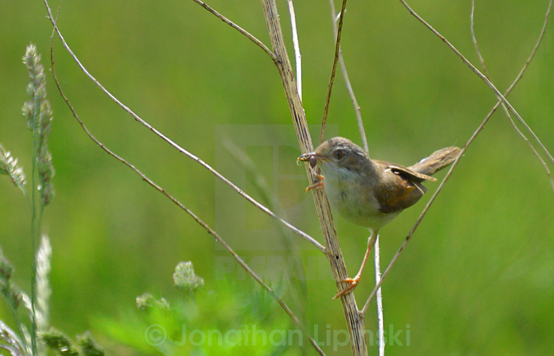 """""""Common warbler"""" stock image"""