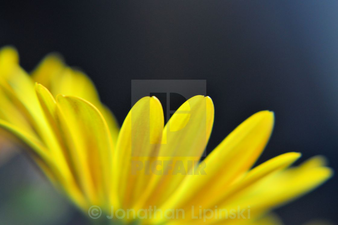 """Yellow flower petals"" stock image"