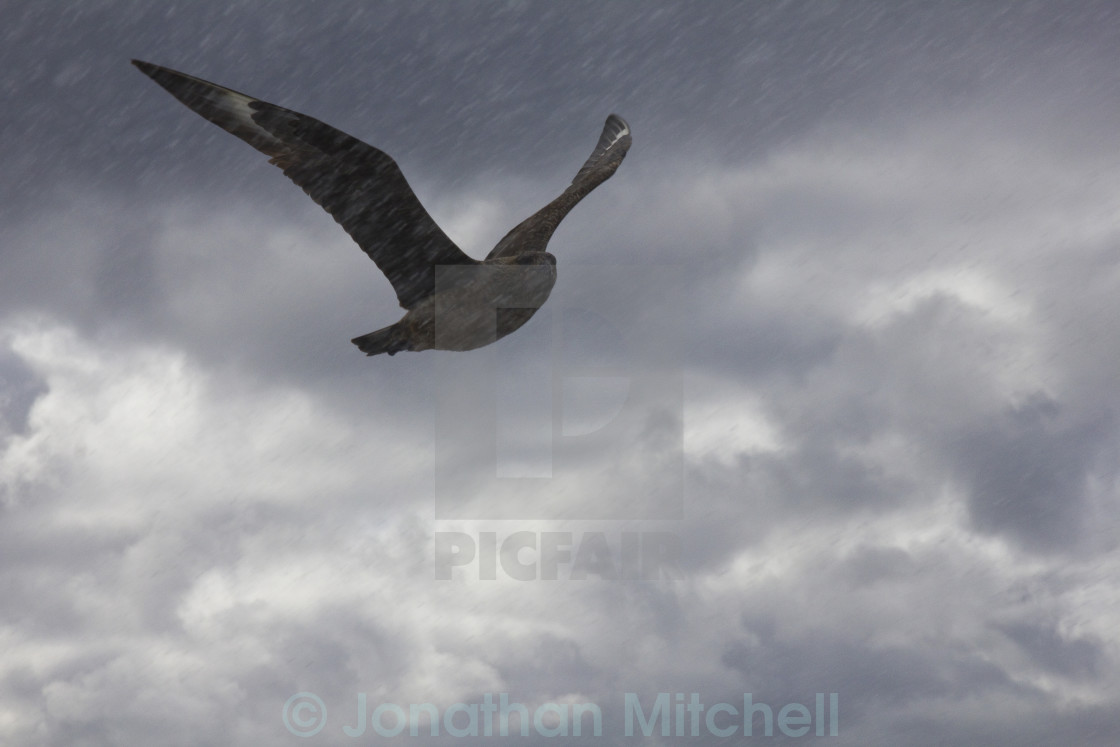 """Great Skua ( Catharacta skua )"" stock image"