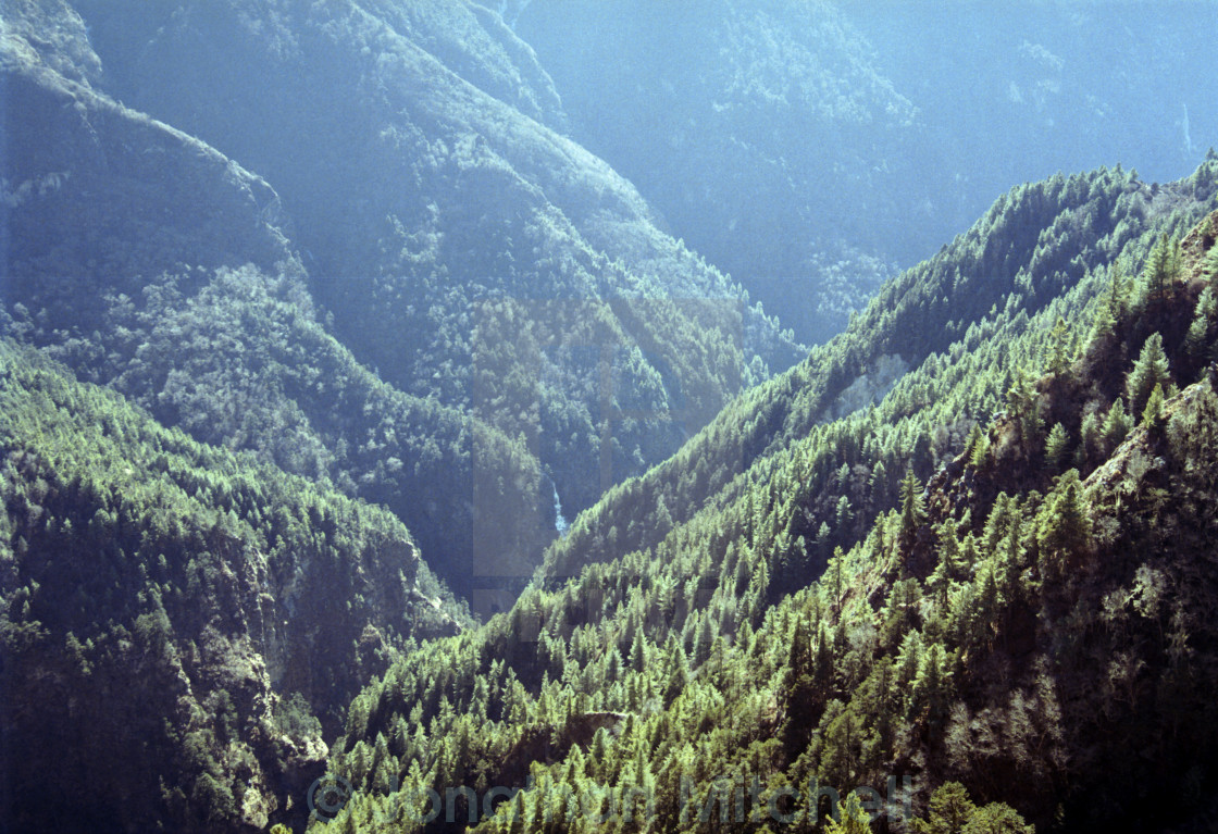 """Himalayan Pine Forest"" stock image"