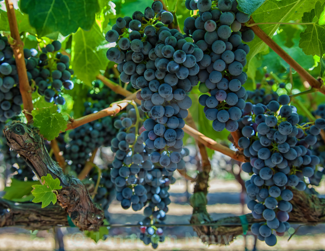 """""""Grapes 2"""" stock image"""