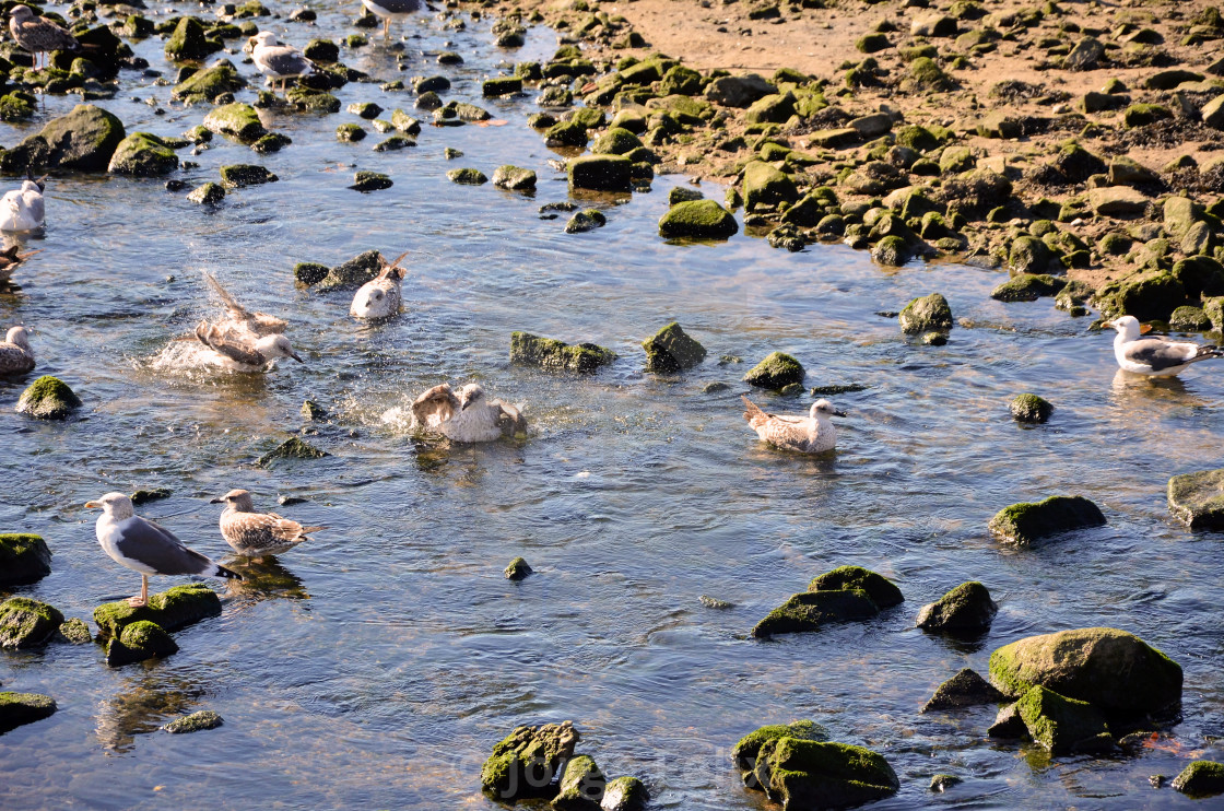 """Seagulls in the river"" stock image"