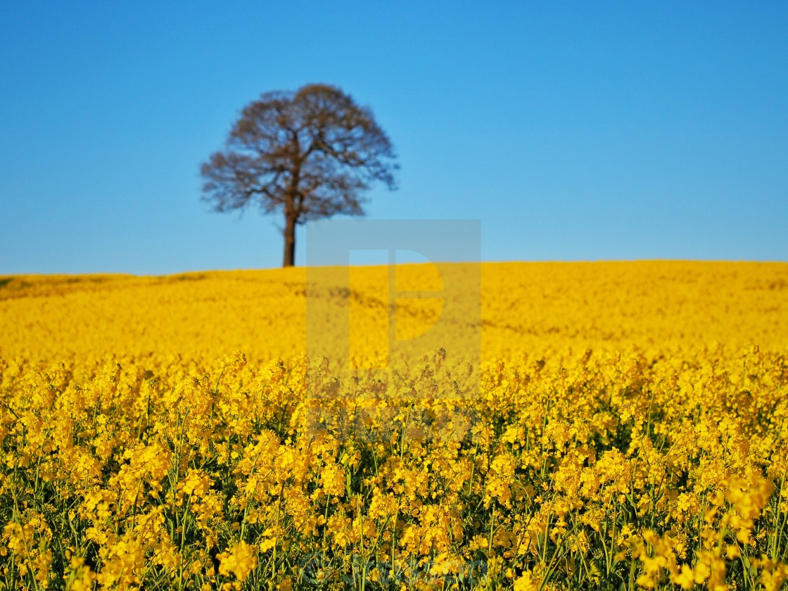 """Tree in Rapeseed field"" stock image"