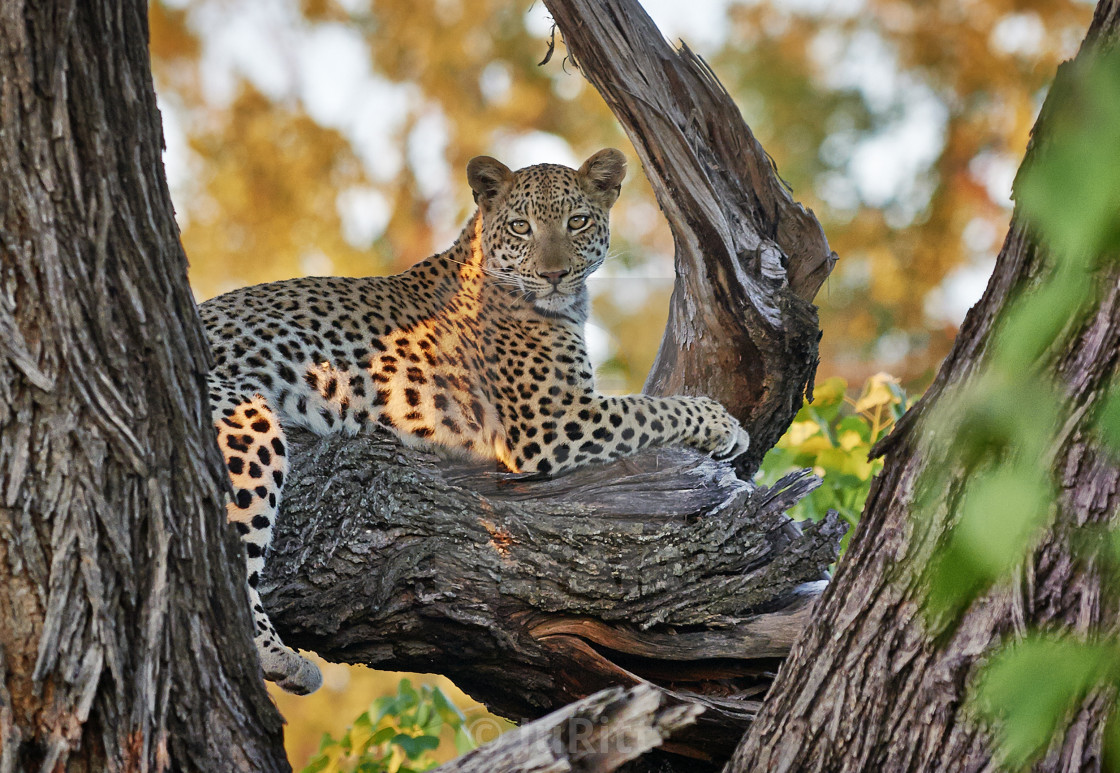 """Leopard (Panthera pardus) sitting on a branch"" stock image"