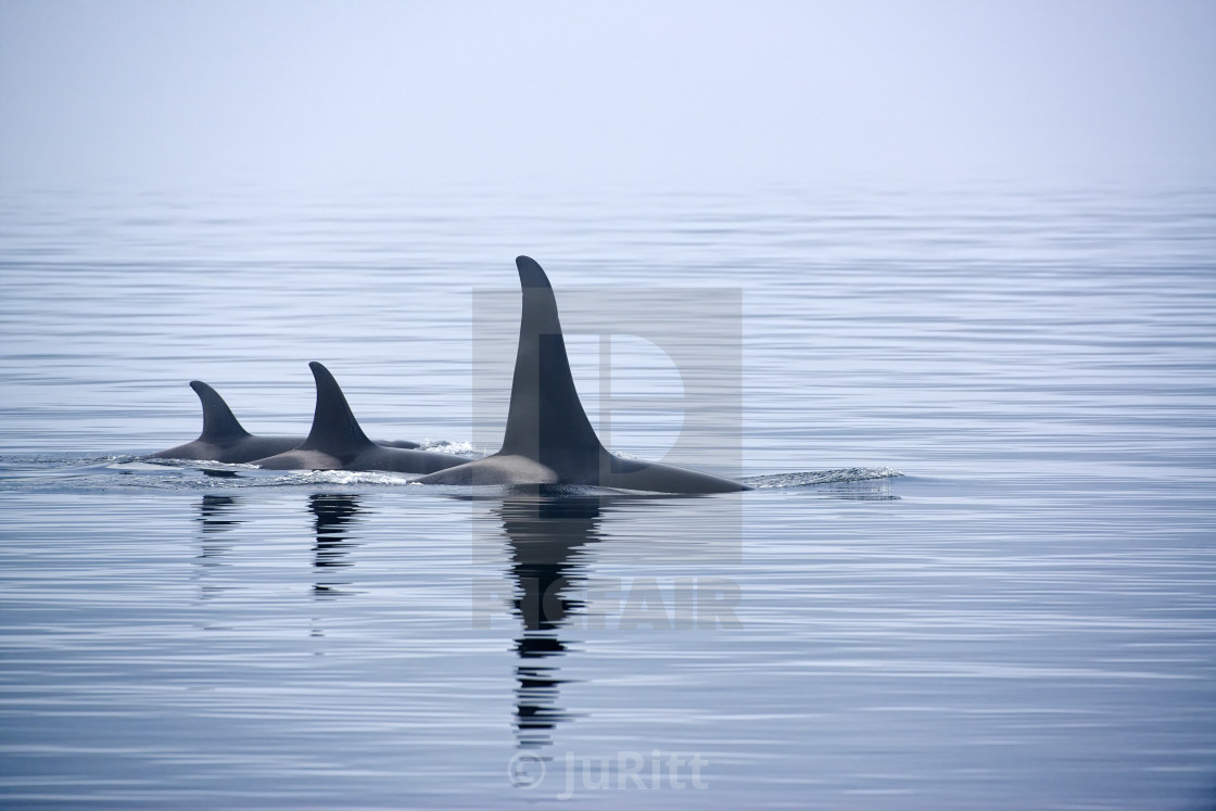 """Killer whales or Orcas with huge dorsal fins"" stock image"