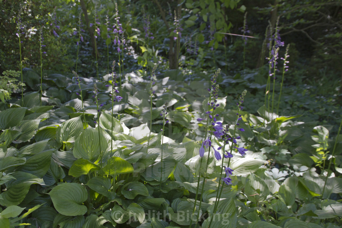 Hosta Plants Blooming In The Summer Shade License Download Or