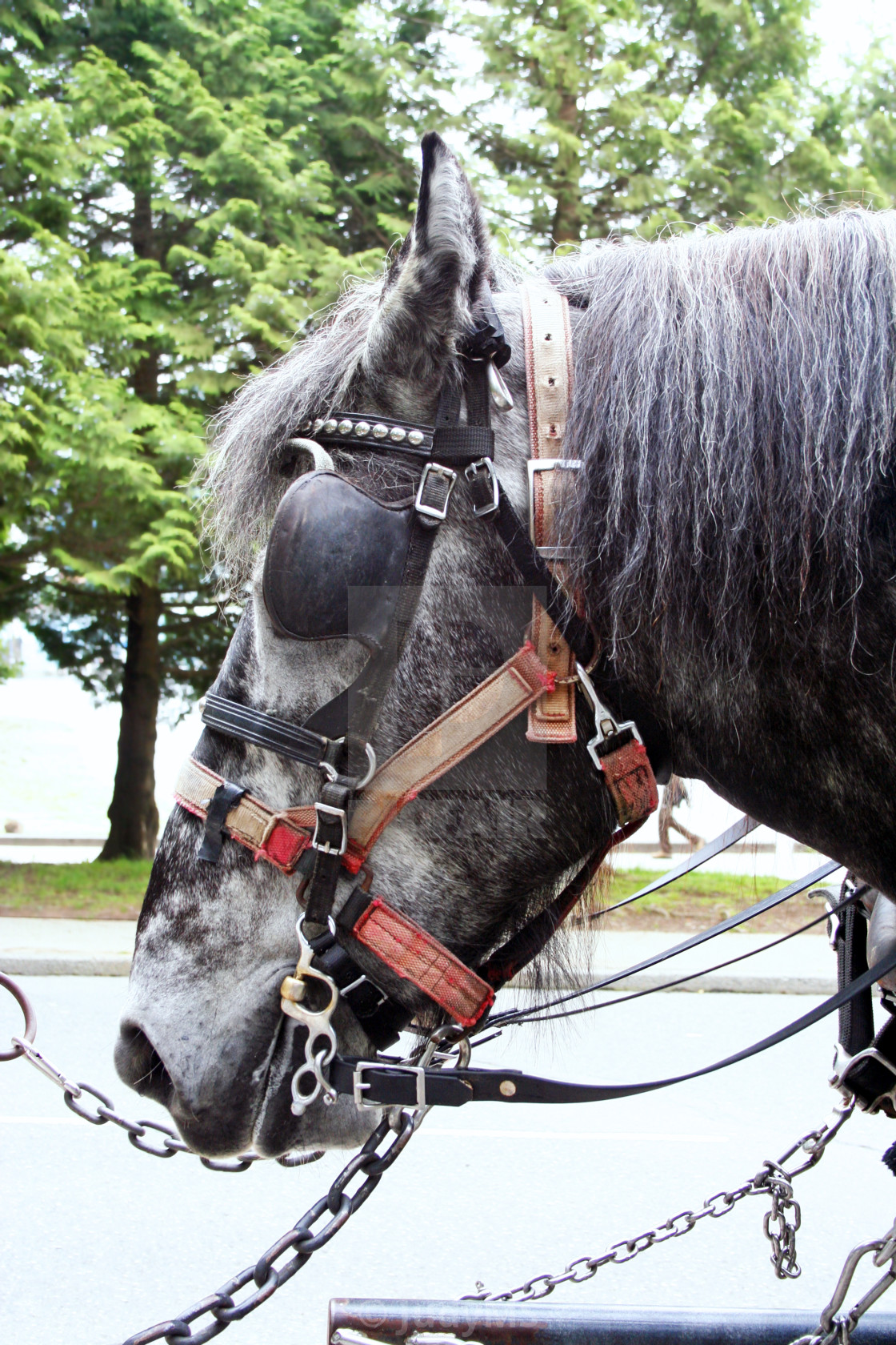"""Carriage Horse"" stock image"