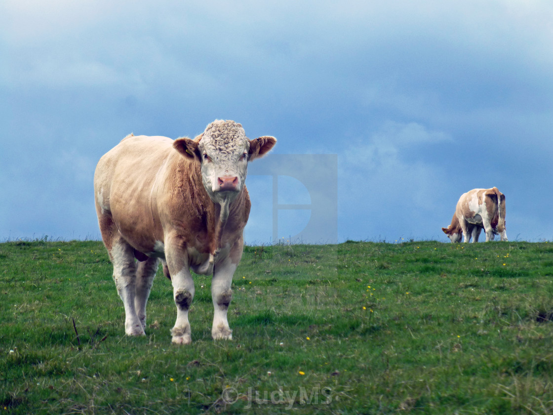 """Watchful Bull"" stock image"