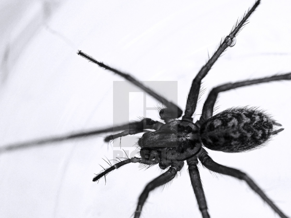 """Scary House Spider"" stock image"