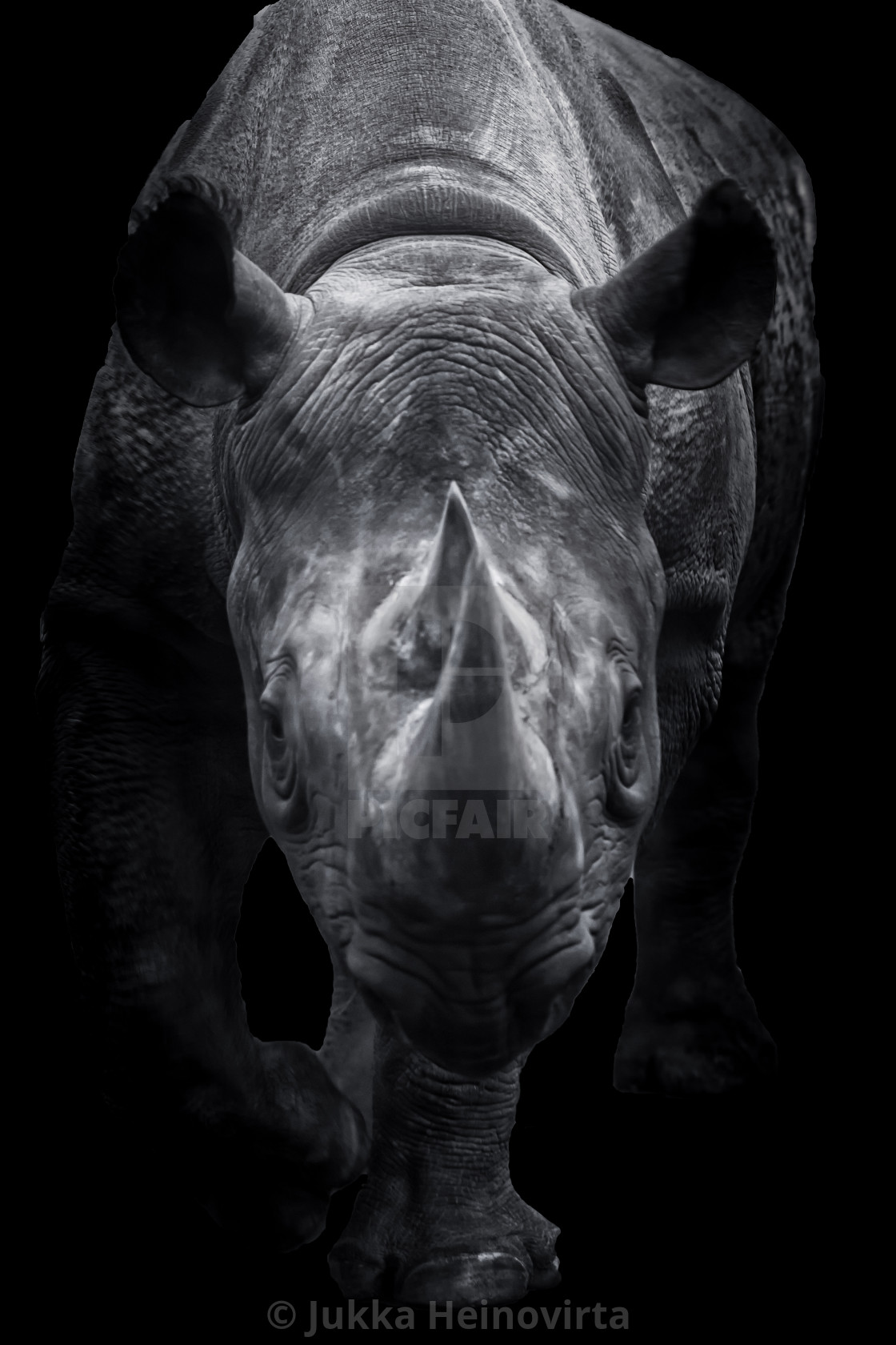 """Black Rhinoceros Walking Towards You"" stock image"