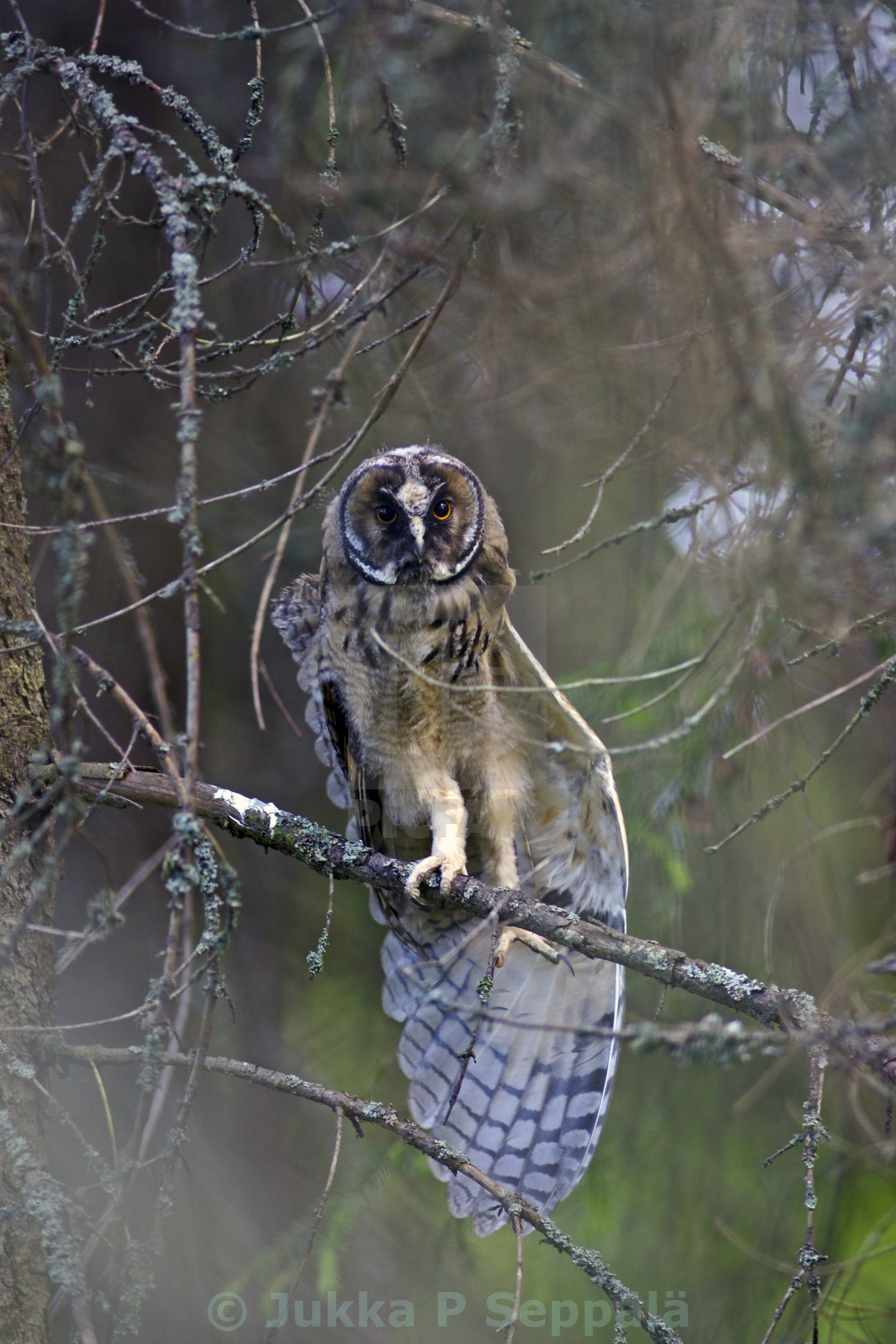 """""""Young long-eared owl stretching"""" stock image"""