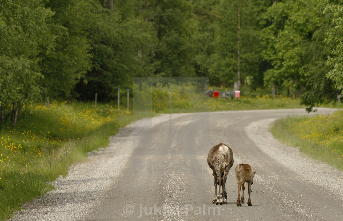 """""""Reindeers on the drive way"""" stock image"""