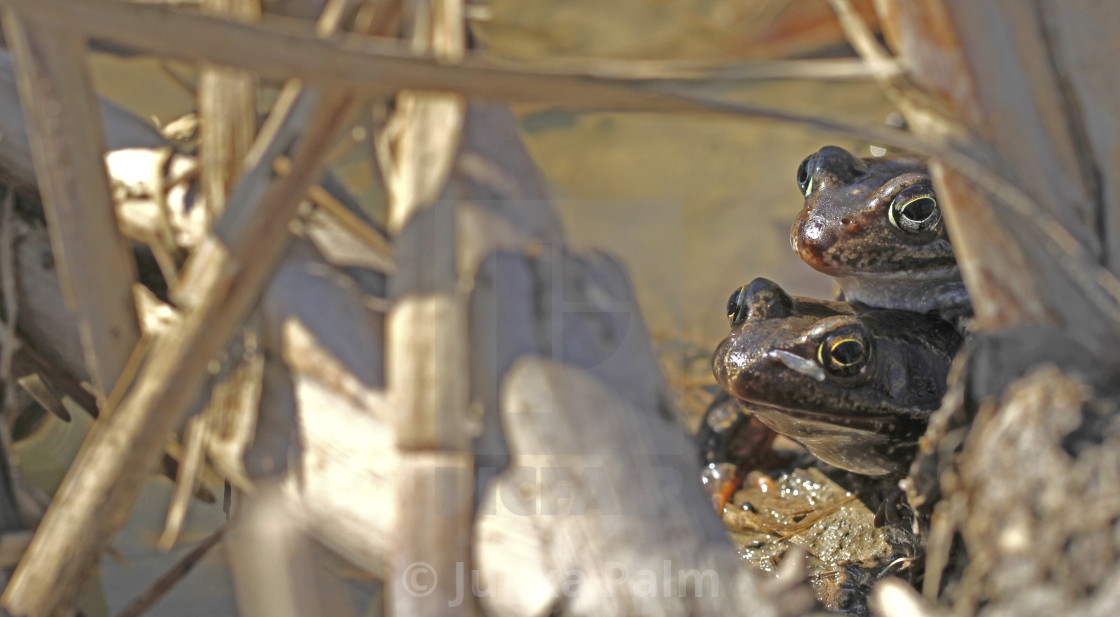 """Common frogs"" stock image"