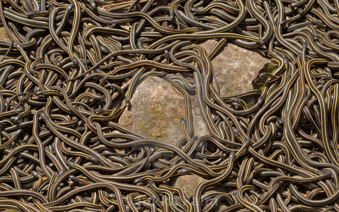 """Red sided garter snakes"" stock image"