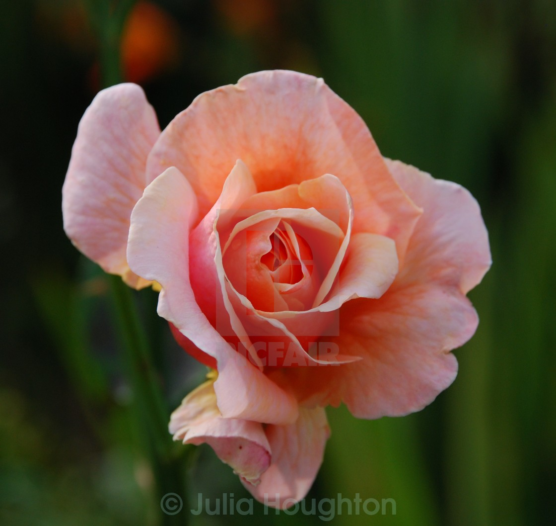 """Peach Rose"" stock image"