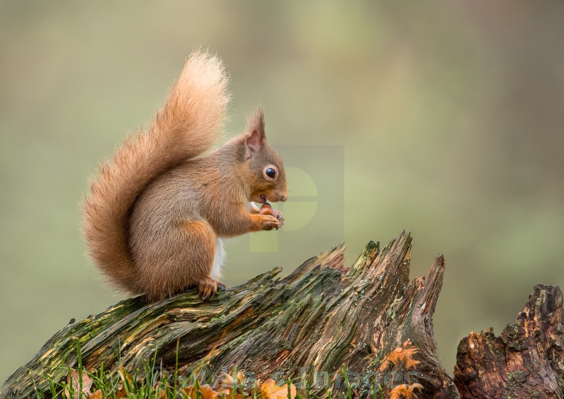 """Red Squirrel on tree stump"" stock image"
