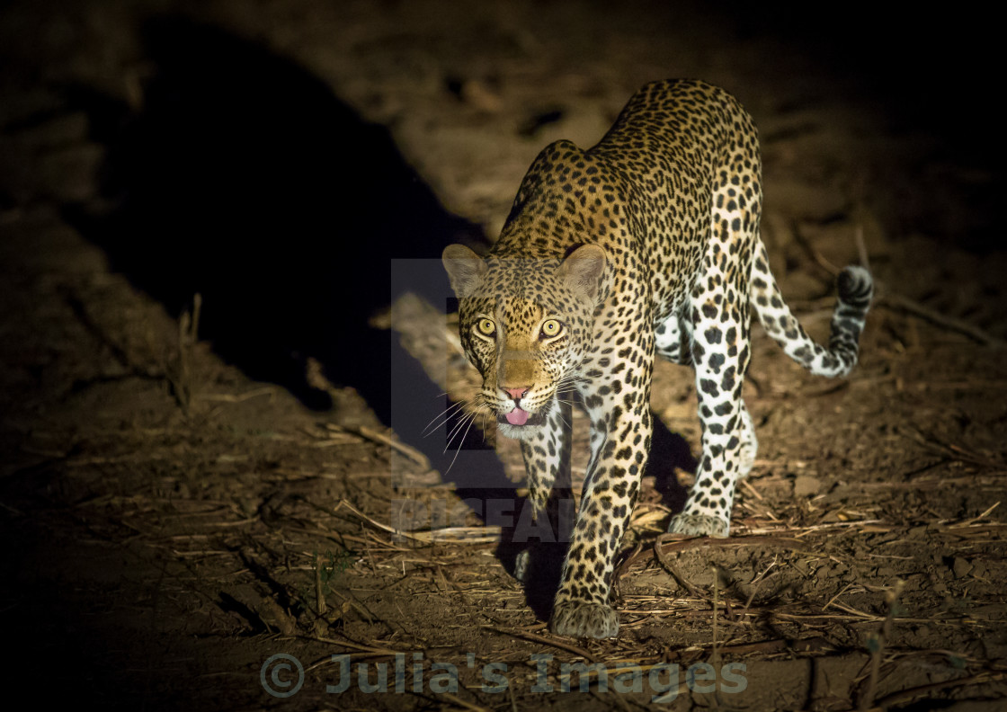 """Prowling Leopard at night"" stock image"