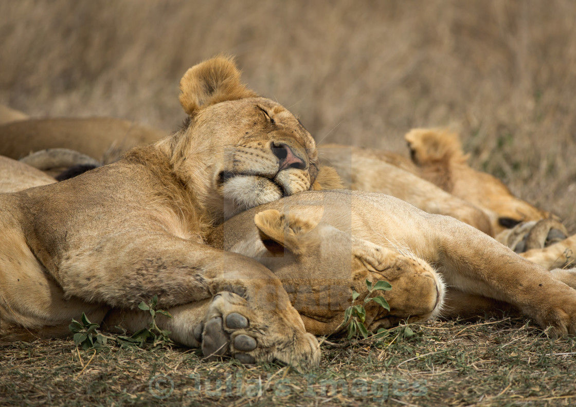 """Sleeping lions"" stock image"