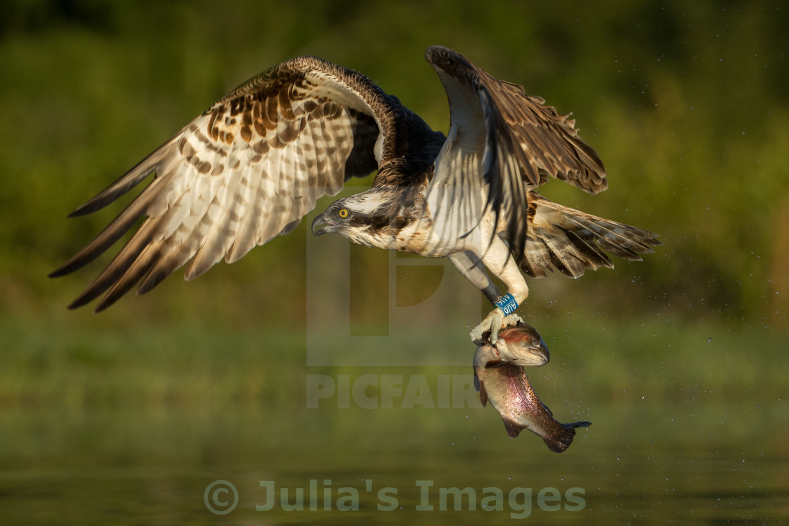 """Osprey with catch of fish"" stock image"