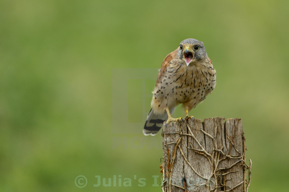 """""""Common Kestrel perched on post and calling"""" stock image"""