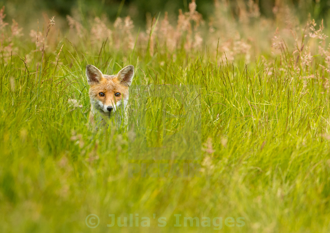 """Red Fox peering through the grass"" stock image"