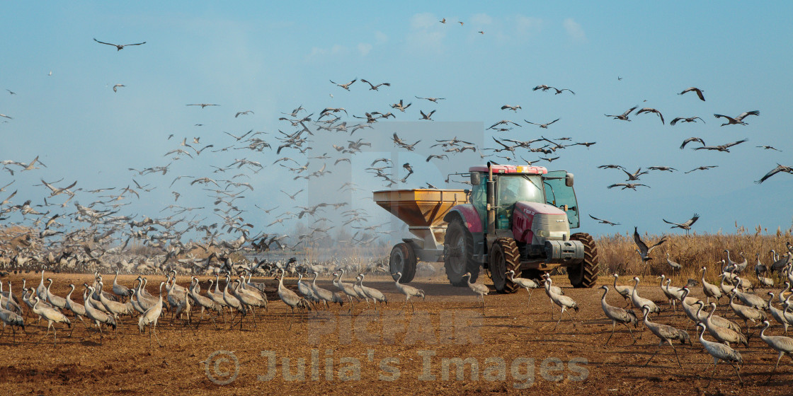 """Feeding common cranes, Hula Valley in Israel"" stock image"